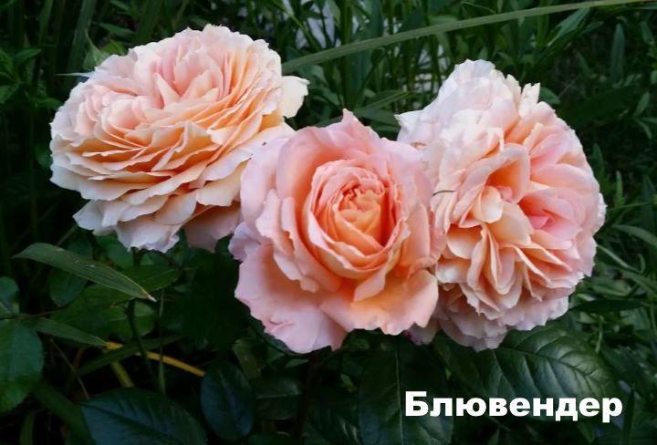 Розы Блювендер