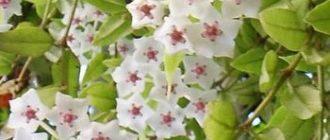 Цветок Хоя - описание