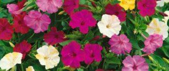 Цветок ночная красавица описание