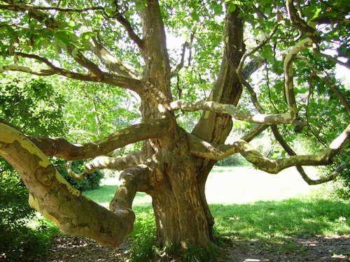 описание- Дерево рода Платан
