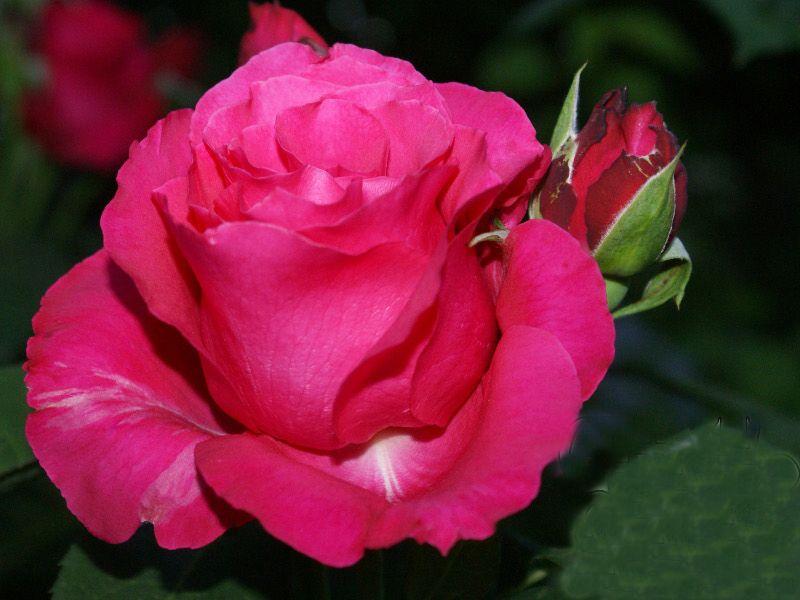 сорт розы Джиральдо