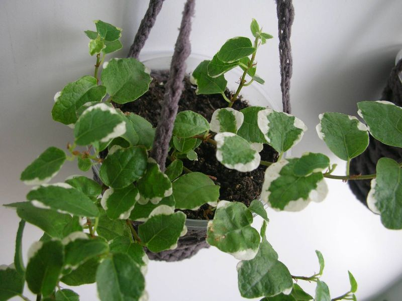 Фикус ползучий - цветок