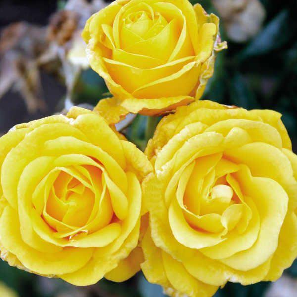 как выглядят розы Голден Веддинг