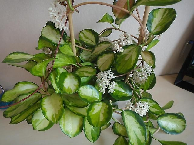 Hoya australis фото