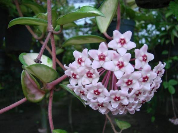 Hoya bella хоя белла описание