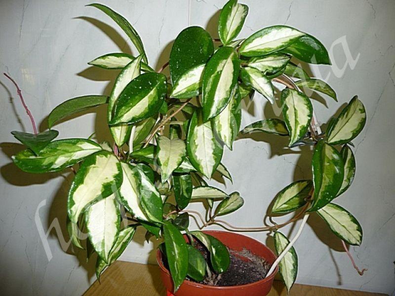 Hoya carnosa - описание
