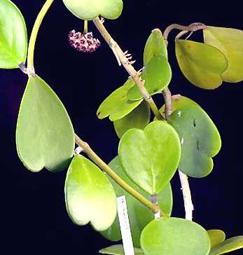 Hoya kerri (керри) описание