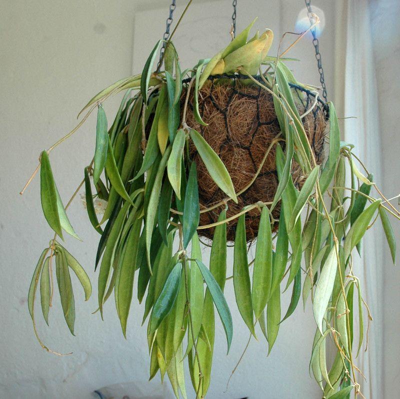 Hoya longifolia - хоя