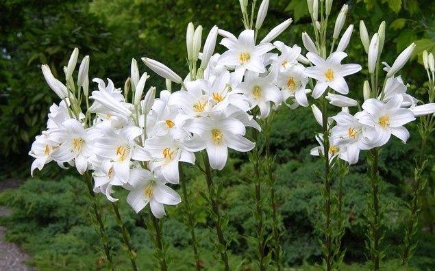 Кандидум гибриды- белые лилии