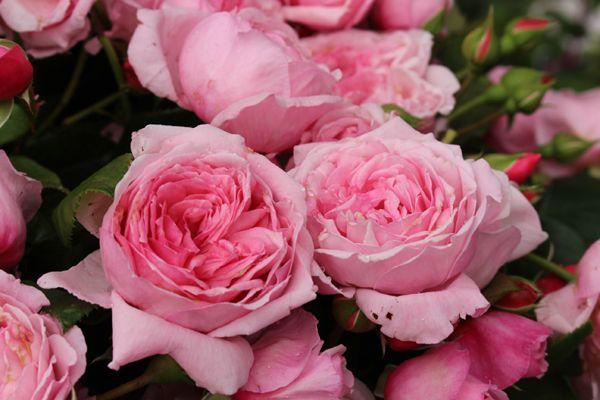 как выглядят розы Кисс