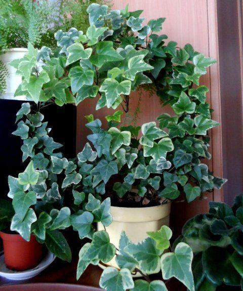 Вьющееся растение с цветами колокольчиками