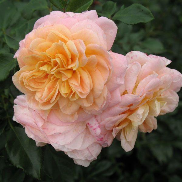 как выглядит сорт роз Концерто
