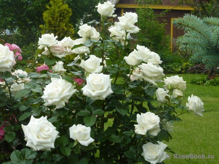 как выглядят розы Ла Палома