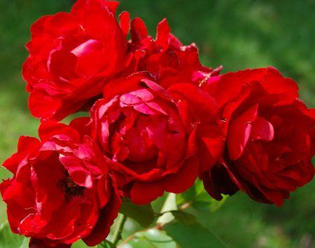 сорт роз-Лилли Марлен