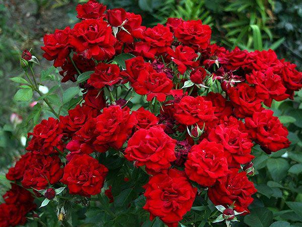 Как выглядят розы Никколо Паганини