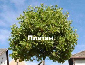Платан дерево - фото и описание