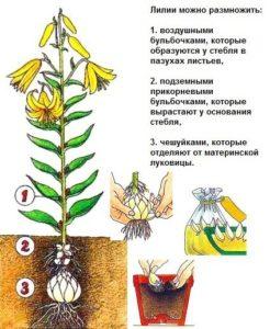 все о размножении лилий