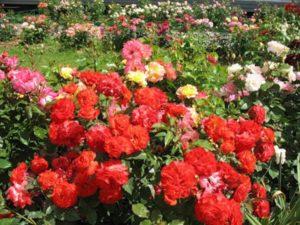 Как посадить розу Флорибунду: посадка и уход