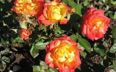 Как выглядят розы Самба
