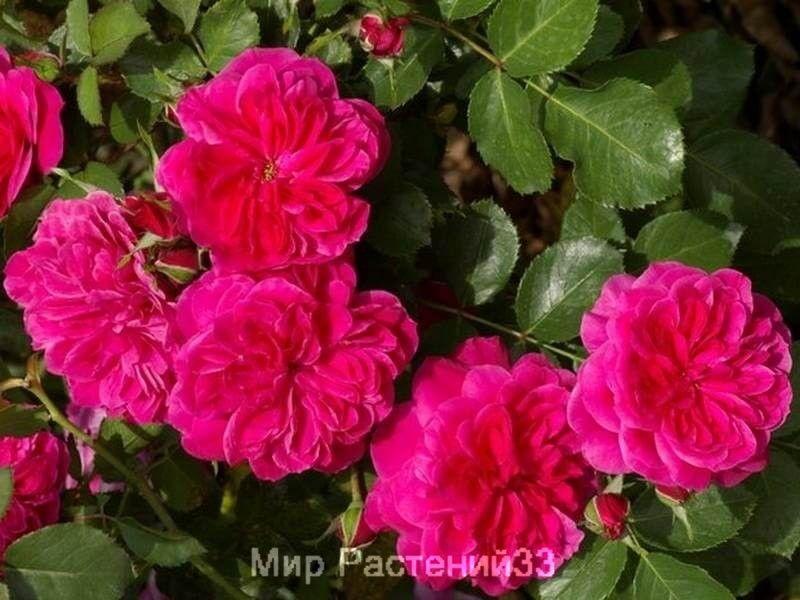роза сангрия