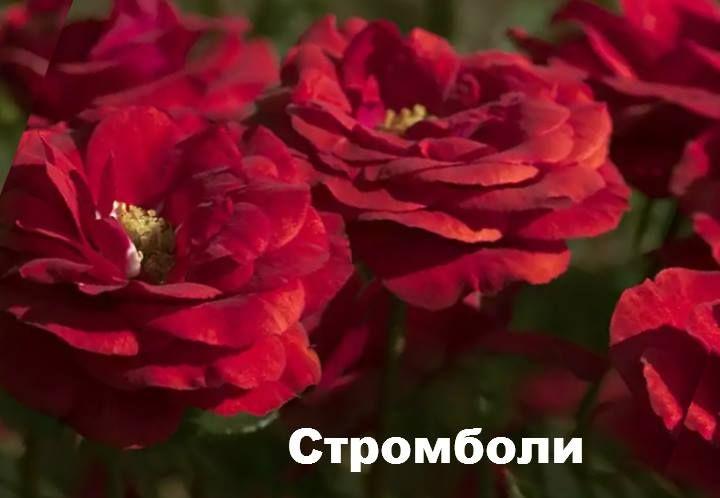 Стромболи - розы