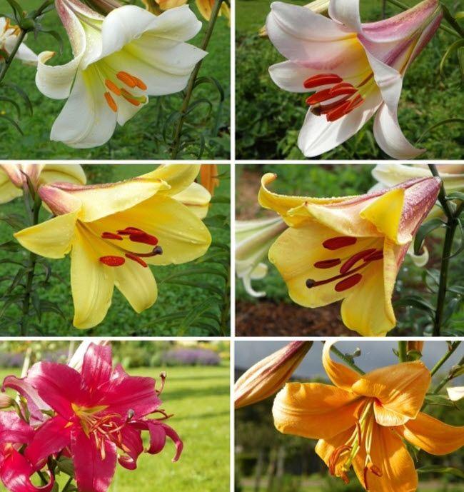 Как выглядят трубчатые лилии