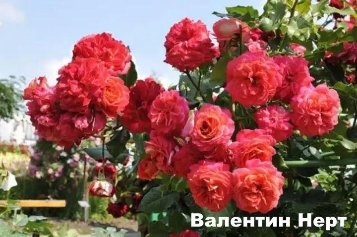 Как выглядят розы Валентин нерт
