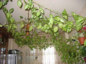 Какие   Виды комнатных вьющихся растений существуют