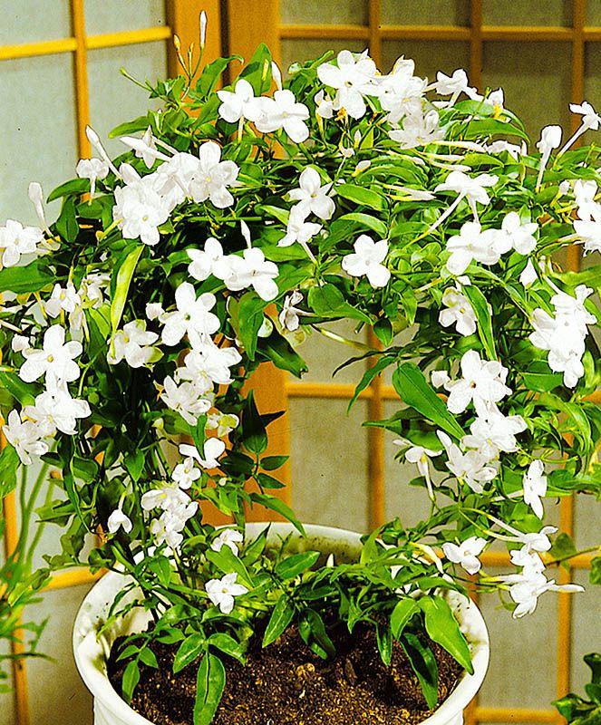 Многоцветковый жасмин, как цветет