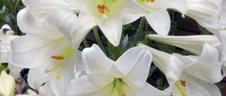 описание белых цветы лилии