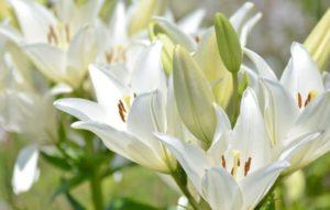 бутоны белой лилии