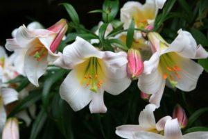 трубчатые бутоны лилии