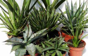 Цветёт агава, спустя шесть – семь лет после укоренения