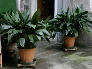 Растение может достигать 25-30 сантиметров