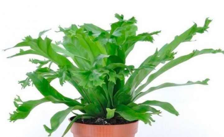 Асплениум живородящий комнатные растения