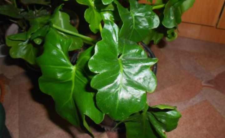 растение небольших размеров с прямостоячим стеблем