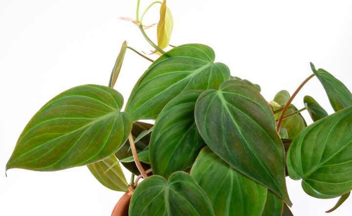 лиана с зелеными, бархатистыми листьями