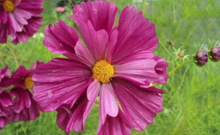 очень пышно цветёт