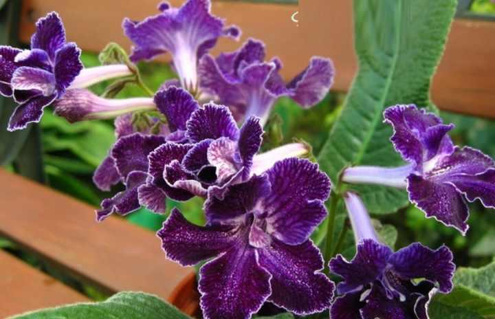 Фиолетовые бархатные колокольчики