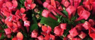 красивое домашнее растение, которое относится к семейству Мареновых