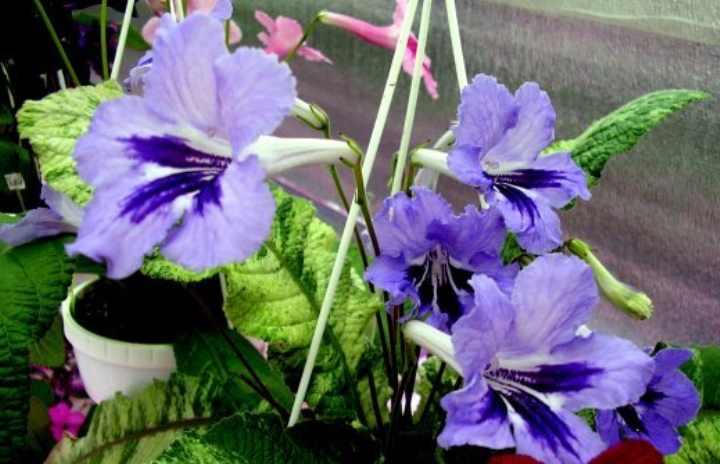 Фиолетовые синие колокольчики