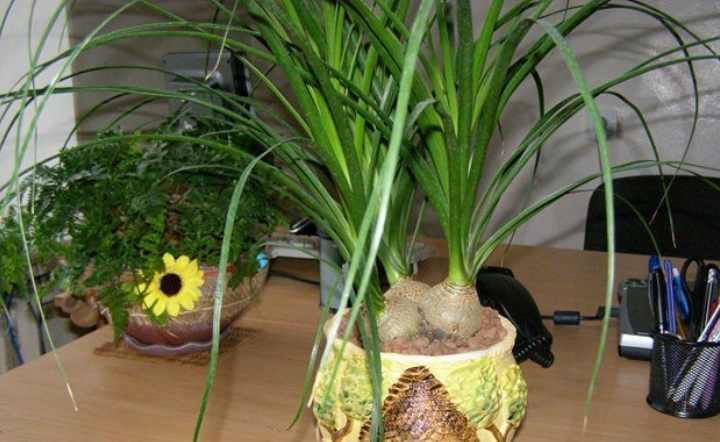 Размножается нолина возможно двумя способами: из семян и боковыми отростками