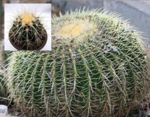 Растение эхинокактус относится к сукулентам
