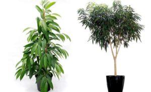 Немногочисленные виды растения достаточно эффектные, отличаются размерами и внешними признаками.