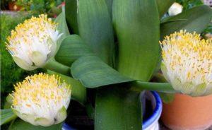 луковичное вечнозеленое растение семейства Амариллисовые
