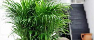 прекрасная и экзотичная пальма