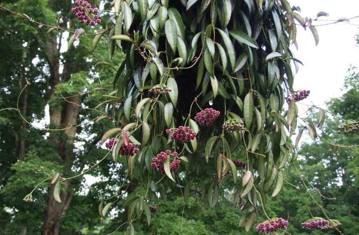 Диаметр каждого цветка около 2 см