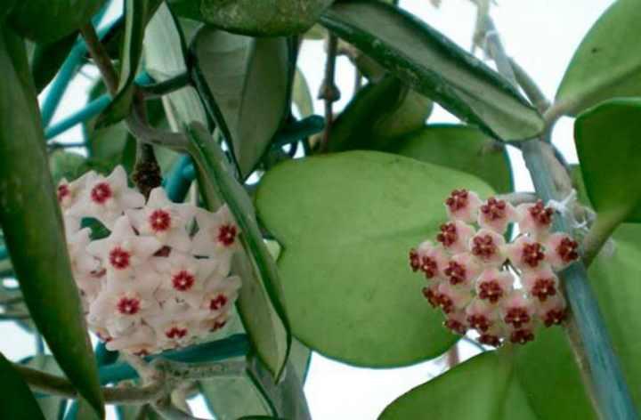 популярна своими листьями, которые похожи на зеленые сердца
