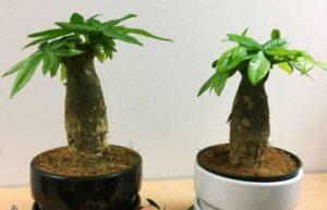Пахира- экзотическое вечнозеленое растение семействабаобабовых