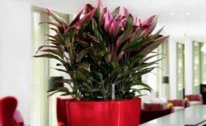 растение семейства Агавовые